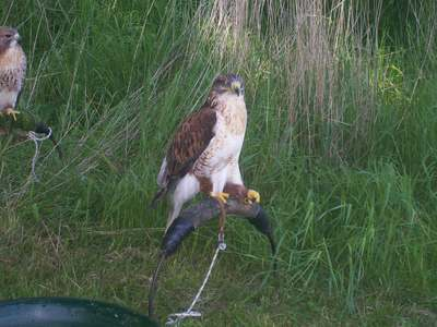 static falconry display
