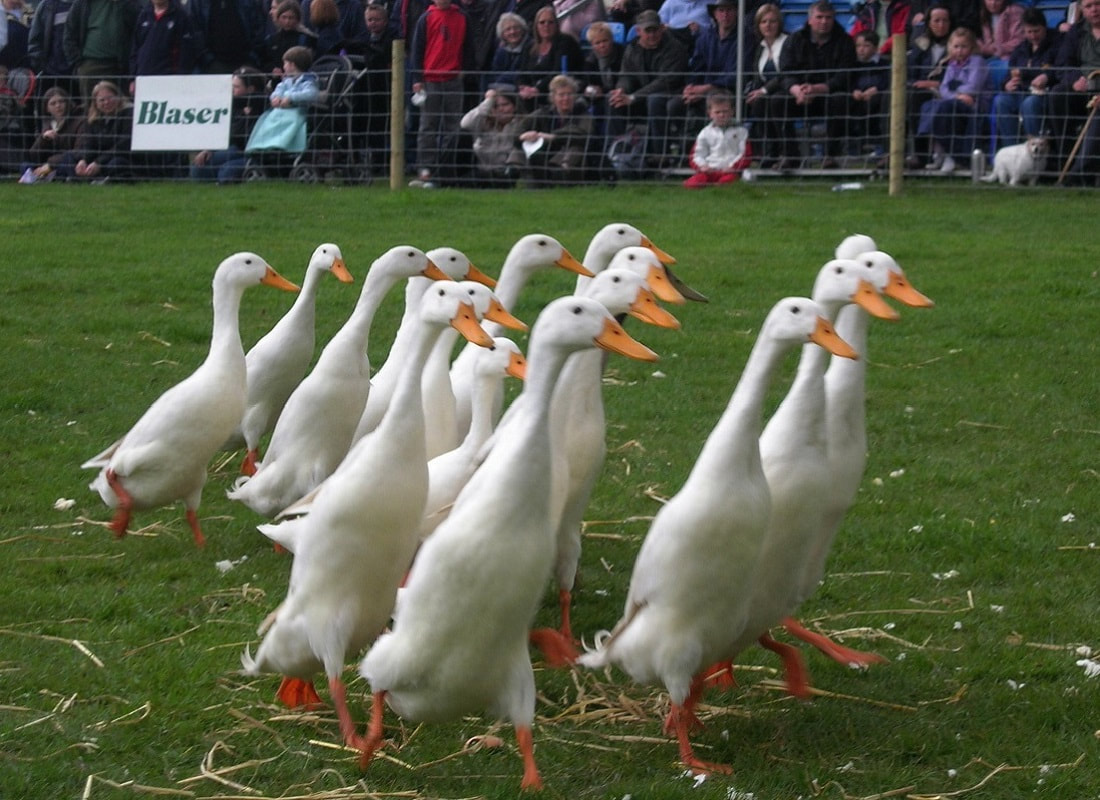 Duck Herding for a Hen Party